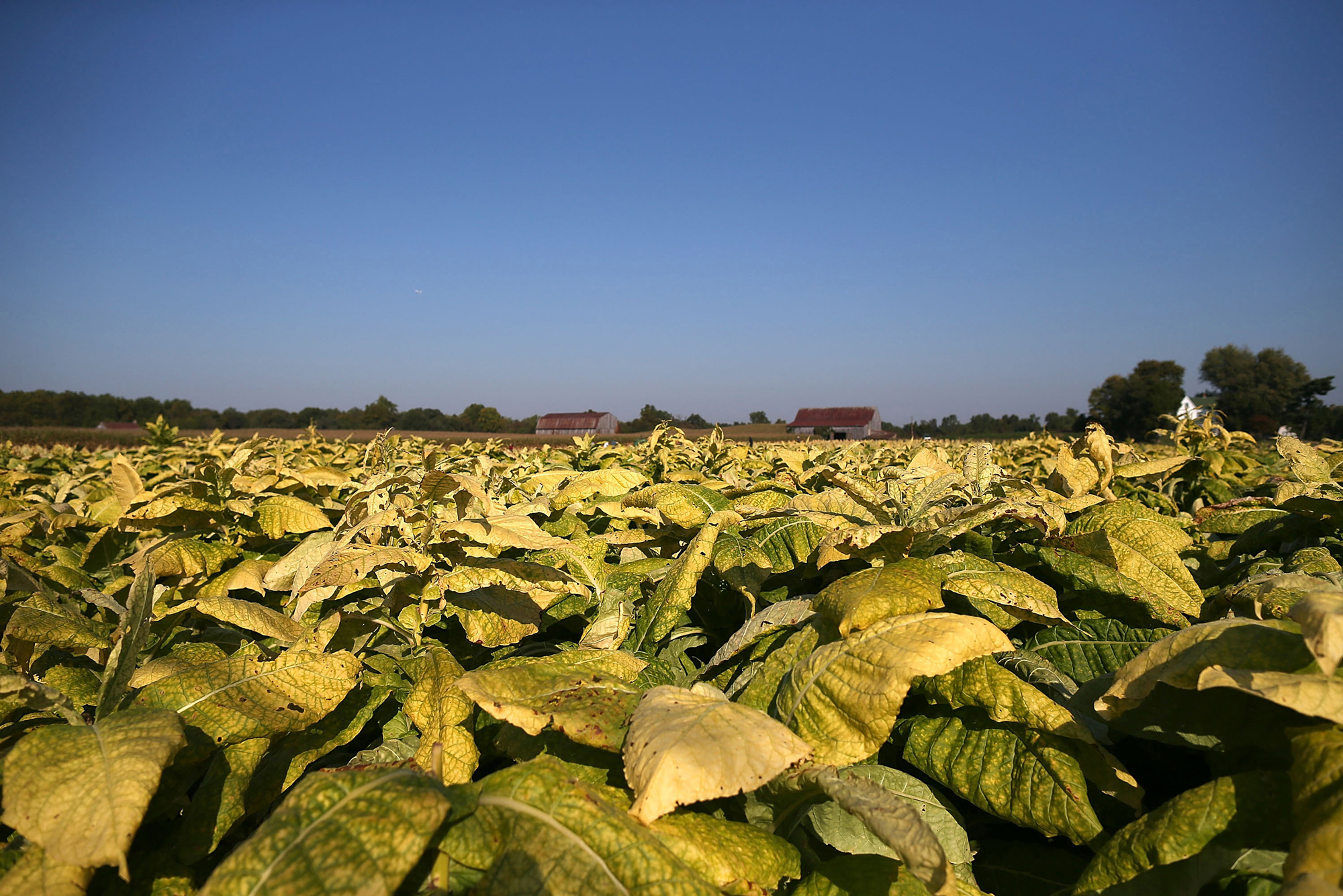 Researchers used genetic engineering to increase the yield of tobacco plants.