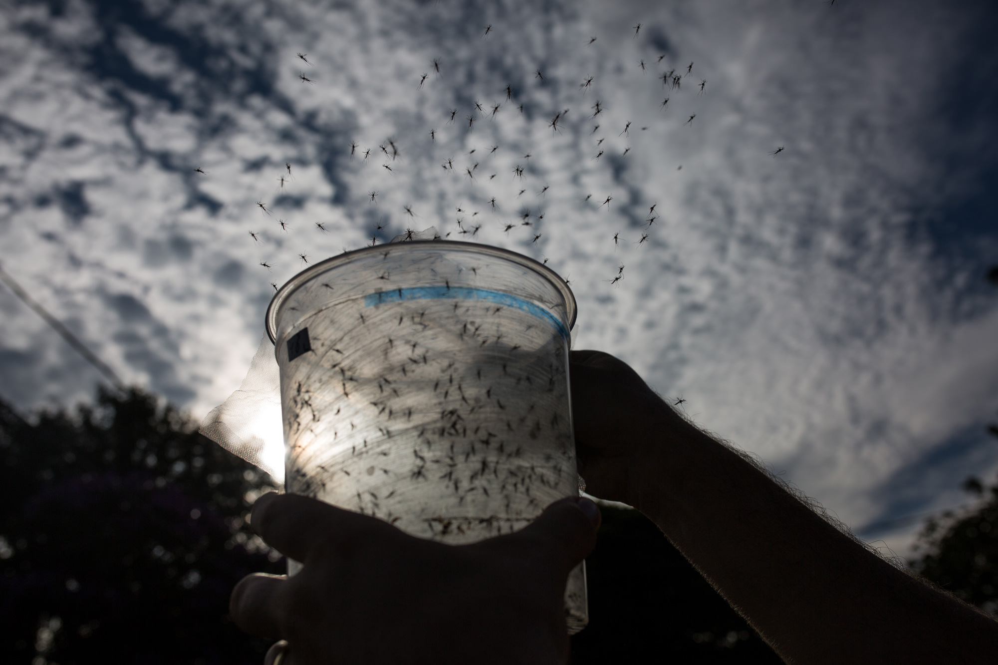 Genetically modified <i>Aedes aegypti</i> mosquitoes made by Oxitec were released in Piracicaba, Brazil, earlier this year.